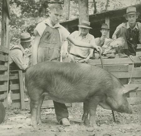 4-H Prize-winning Hog
