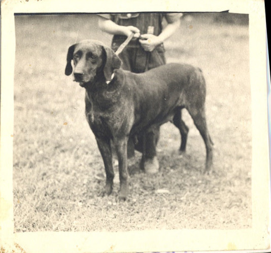 'Dan', the First Registered Plott Hound.  Haywood County Public Library