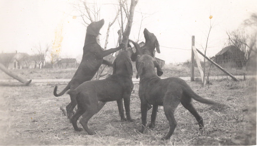 Group of Plott Hounds.  Haywood County Library