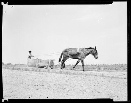Mule and Farmer in Tobacco Field