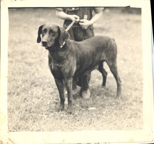 Dan_the_First_Registered_Plott_Hound