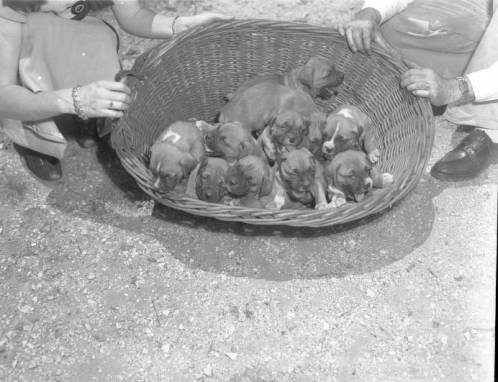 Puppies_in_a_basket