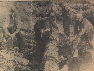 black and white newspaper clipping of four individuals sawing through a tree trunk